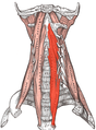 "Longus Colli and Capitas  ""Core"" muscles of the neck"